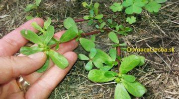 Túto burinu neničte: Je to jedna z najprospešnejších rastlín