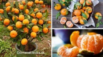 Už nikdy nekúpte mandarinky. Zasaďte ich do kvetináča a vždy ich majte stovky!