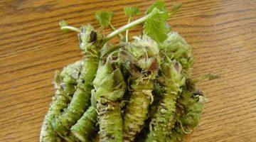 Výskumníci objavili rastlinu na nevyliečiteľnú rakovinu pankreasu