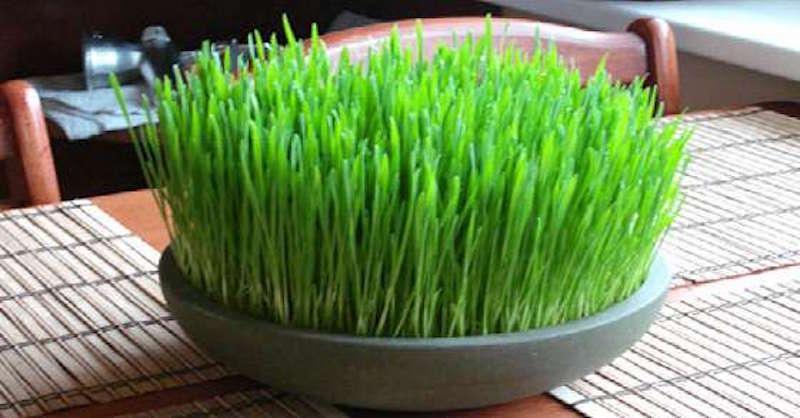 21 úžasných zdravotných prínosov konzumácie pšeničných klíčkov