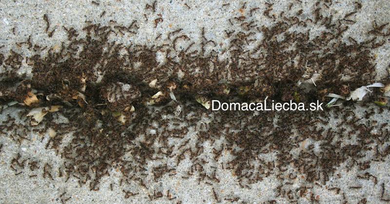 Rozsypte po dome toto korenie auž nikdy viac neuvidíte mravce